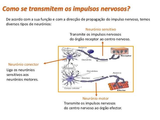 Tipos de neuróniosClassificação de neurónios quanto à sua funçãoNeurónios sensitivos Conduzem os impulsos nervosos        ...