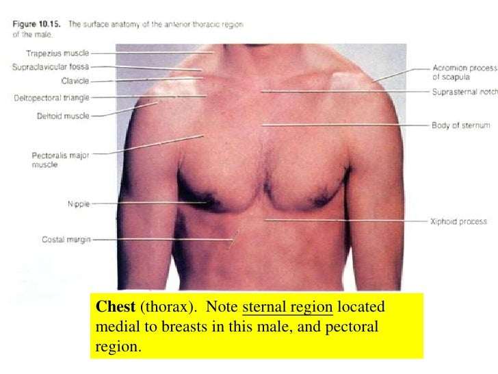 Surface Anatomy Of The Chest Images Human Body Anatomy