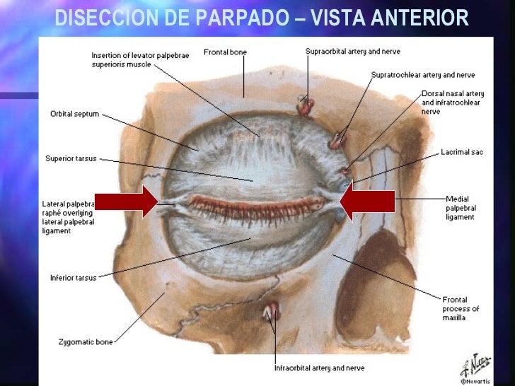 Fantástico Diagrama De La Anatomía Del Párpado Regalo - Anatomía de ...