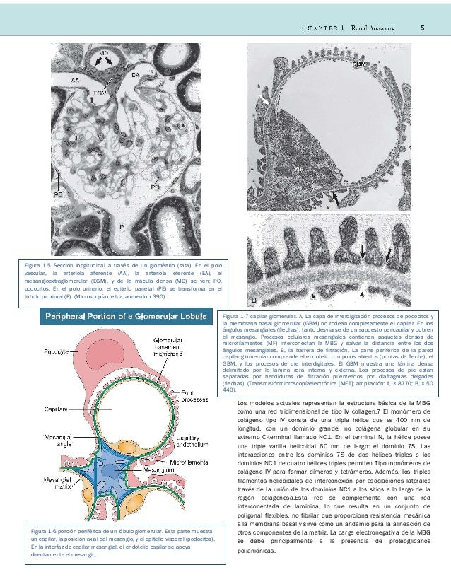 Cap 01 Anatomia Renal Comprehensive Clinical Nephrology