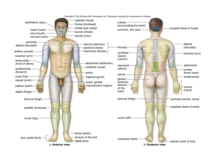 Contemporáneo Anatomy And Physiology Body Cavities Patrón - Anatomía ...