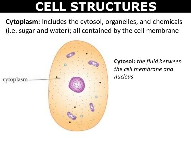 diagram of maturation of follicle 01 cell structures diagram of cytosol #10