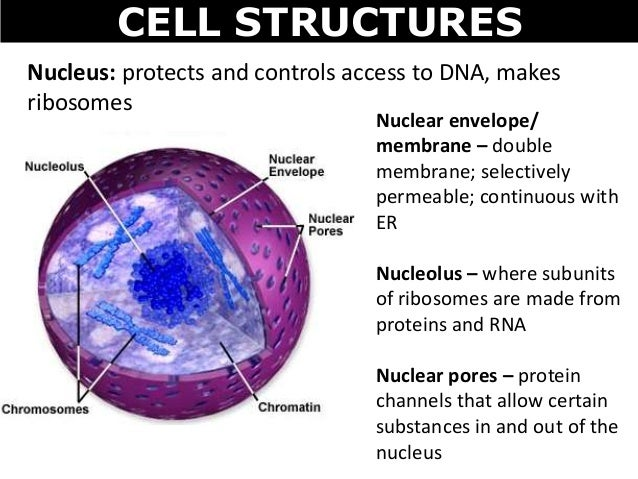 structure that manufactures ribosomes
