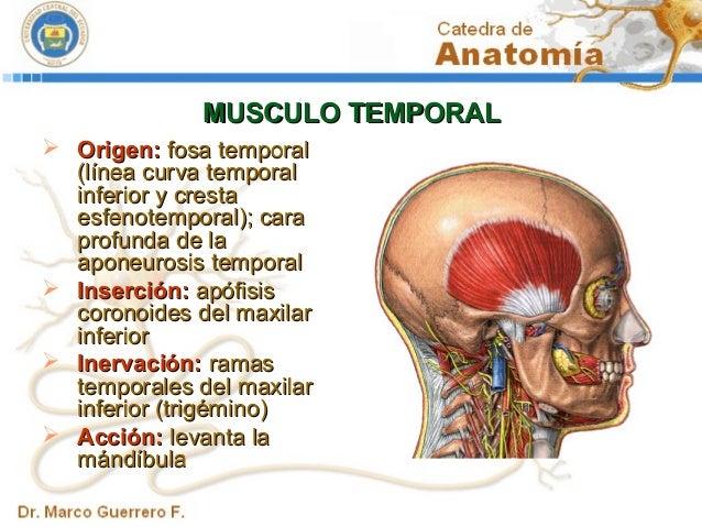inserción del músculo temporal
