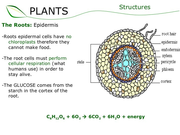 diagram of plant root cell image collections how to