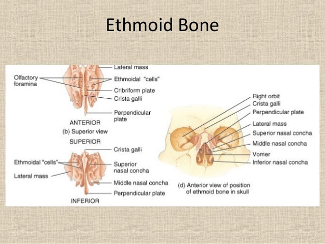 ethmoid bone anatomy pdf free