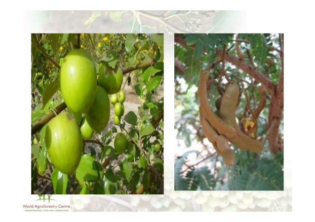 constituents of kuwing oil from irvingia gabonensis Example of those of irvingia gabonensis and irvingia wombulu  keywords:  congo basin, fatty acid, irvingia smithii, nutrients, oil content,.