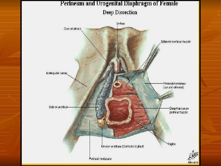 02. anatomía genital femenina