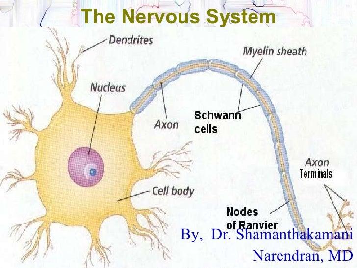 Central nervous systemppt the nervous system by dr shamanthakamani narendran toneelgroepblik Images