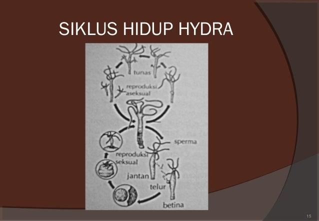 daur hidup hydra