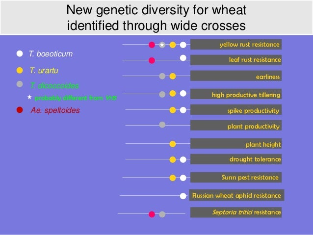 New genetic diversity for wheat            identified through wide crosses                                          yellow...