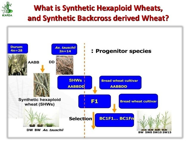 What is Synthetic Hexaploid Wheats,and Synthetic Backcross derived Wheat?