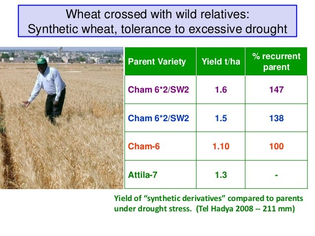 Wheat crossed with wild relatives:Synthetic wheat, tolerance to excessive drought                                         ...