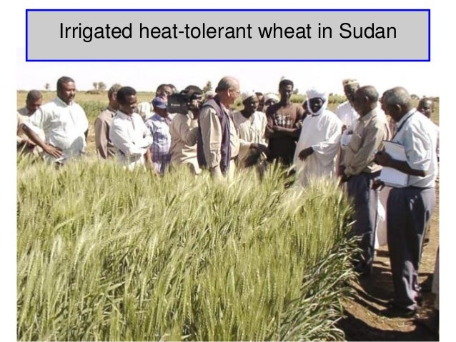 Irrigated heat-tolerant wheat in Sudan