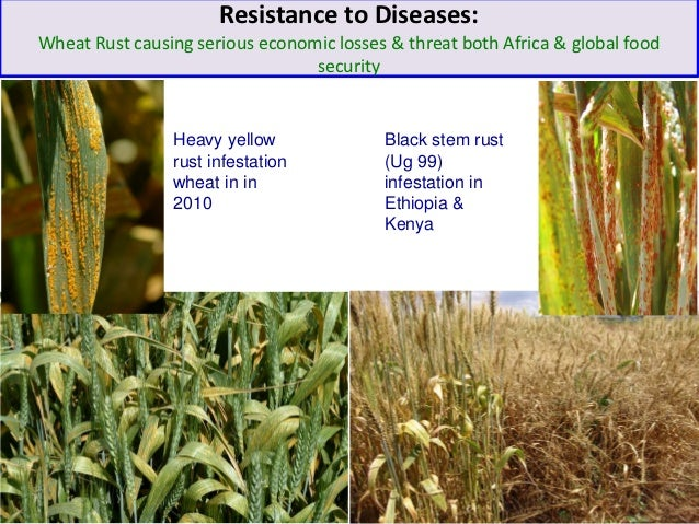 Resistance to Diseases:Wheat Rust causing serious economic losses & threat both Africa & global food                      ...
