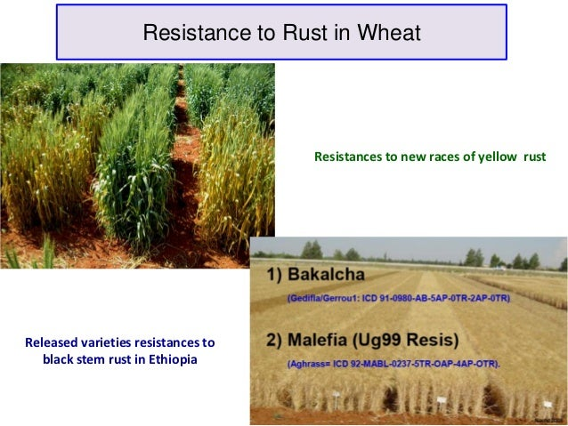 Resistance to Rust in Wheat                                    Resistances to new races of yellow rustReleased varieties r...