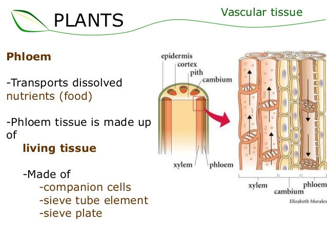 plant tissue diagram Plants and their structure and then develop into cell types which are grouped into tissues plants have only three tissue types: 1) diagram of leaf structure.