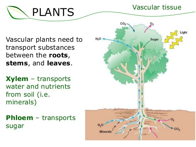 02 plant structure sup... Xylem Cell For Kids