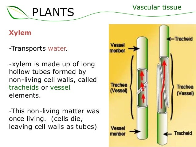 xylem cell Transport in plants  the water and dissolved minerals leave the xylem and get absorbed by the cells in the leaves how water moves through the xylem:.