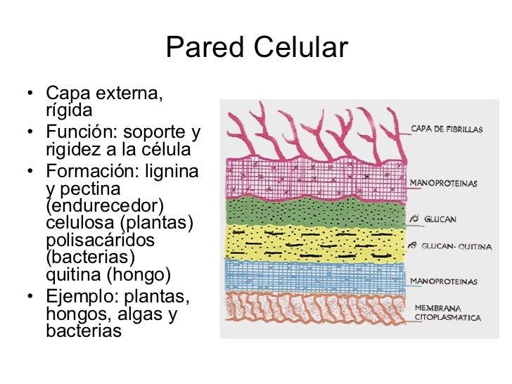 Teoria celular for Pared y membrana celular