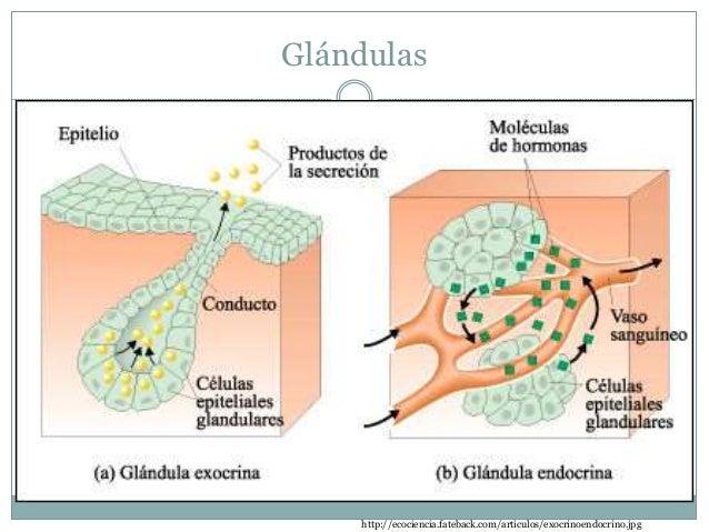 Hormonas  Actúan sobre el metabolismo  Se liberan al espacio extracelular  Viajan a través de la sangre  Afectan tejid...