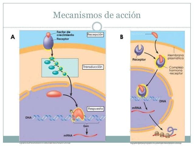 Receptor nuclear  Esteroidales: núcleo  Tiroídeas: citoplasma