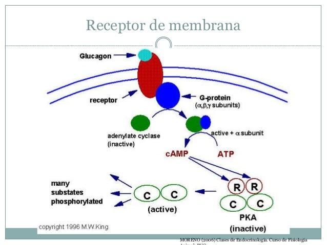Regulación  Puede ocurrir a varios niveles.  Los tipos de regulación más importantes son:  Retroalimentación positiva (...