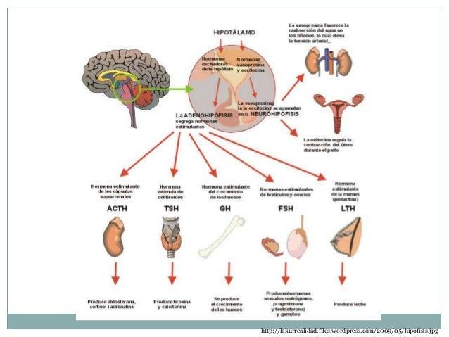 Sistema Endocrino_2