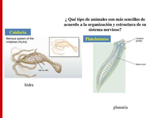 ¿ Qué tipo de animales son más sencillos de acuerdo a la organización y estructura de su sistema nervioso? hidra planaria ...