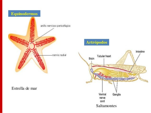 Artrópodos Equinodermos Saltamontes Estrella de mar