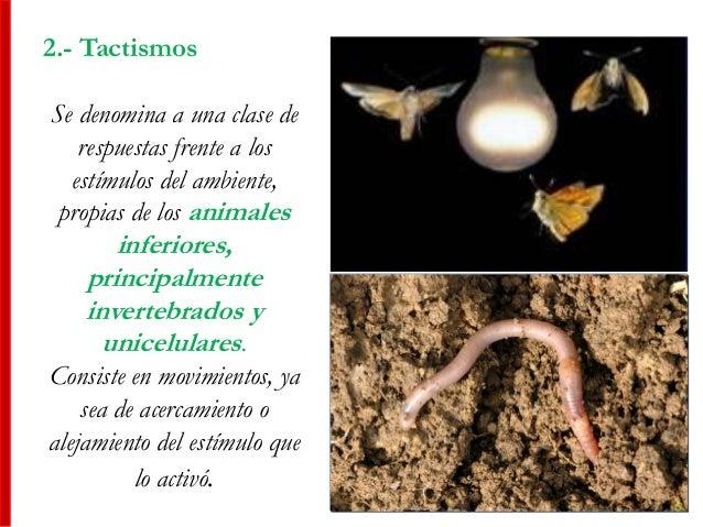 2.- Tactismos Se denomina a una clase de respuestas frente a los estímulos del ambiente, propias de los animales inferiore...