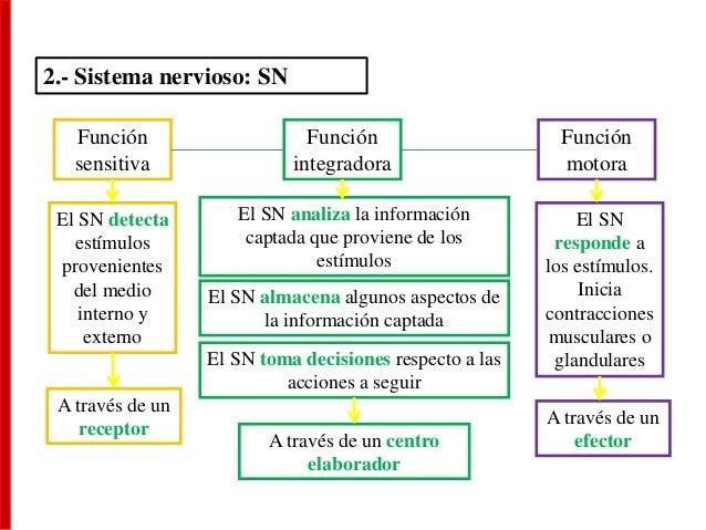 2.- Sistema nervioso: SN Función sensitiva El SN detecta estímulos provenientes del medio interno y externo A través de un...