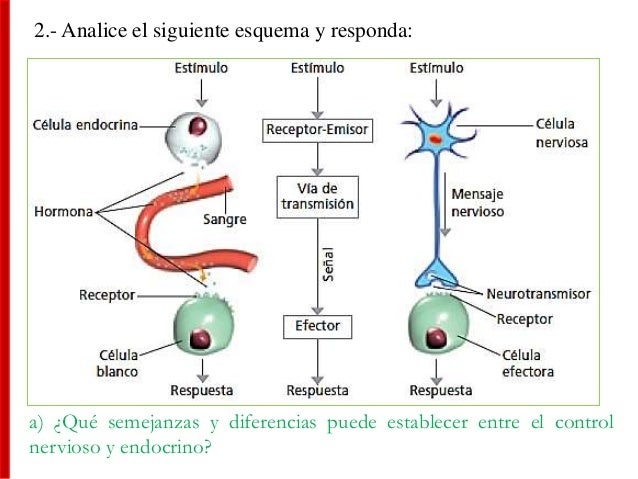 2.- Analice el siguiente esquema y responda: a) ¿Qué semejanzas y diferencias puede establecer entre el control nervioso y...