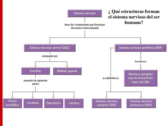 Sistema Nervioso - Parte 2 Slide 3