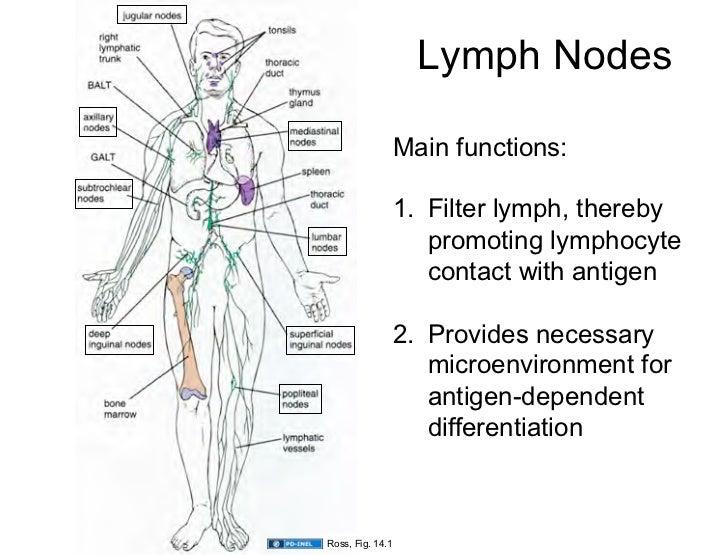 Lymph Nodes Function Acurnamedia