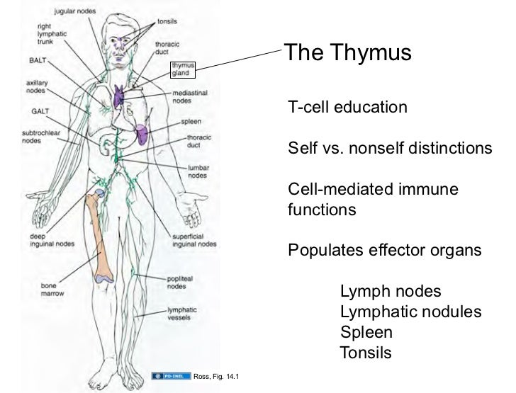 Thymus And Spleen Diagrams - DIY Enthusiasts Wiring Diagrams •