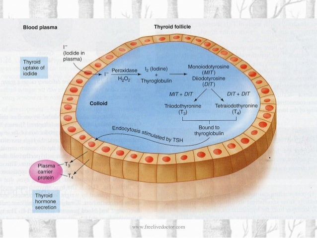 The hypothalamic-pituitary-thyroid feedback system, which regulates the body levels of thyroid hormone.