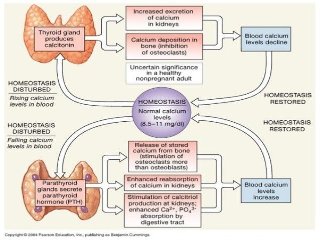 """THYROID GLAND DISORDERS – THYROID GLAND REGULATION """"negative Feed-back"""" axis – Hypothalamus – (TRH positive effect) – Pitu..."""