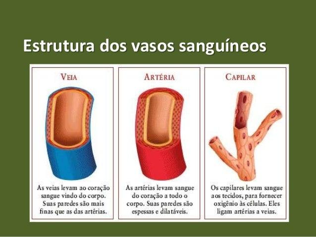 Estrutura dos vasos sanguíneos
