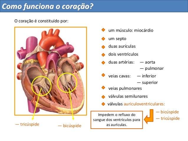 duas aurículasdois ventrículosum septoduas artérias: — aorta— pulmonarveias cavas:veias pulmonares— inferior— superiorválv...