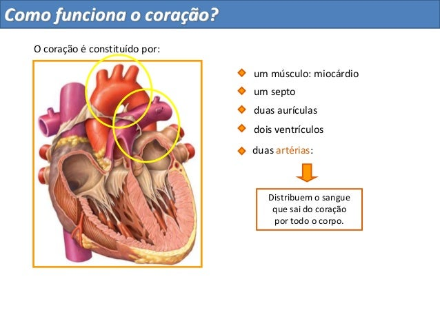 Distribuem o sangueque sai do coraçãopor todo o corpo.duas aurículasdois ventrículosum septoduas artérias:O coração é cons...