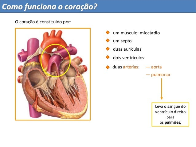 — aortaLeva o sangue doventrículo direitoparaos pulmões.duas aurículasdois ventrículosum septo— pulmonarduas artérias:O co...