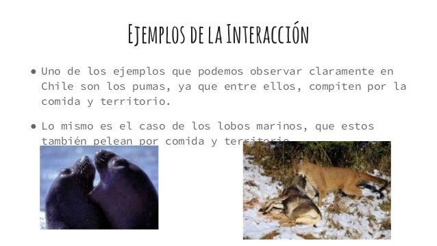 EjemplosdelaInteracción ● Uno de los ejemplos que podemos observar claramente en Chile son los pumas, ya que entre ellos, ...