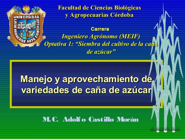 Manejo y aprovechamiento deManejo y aprovechamiento de variedades de caña de azúcarvariedades de caña de azúcar M.C. Adolf...