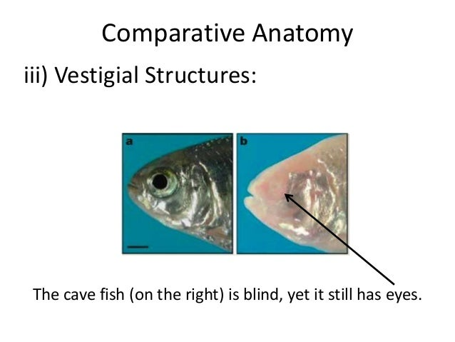 02 Evidence Of Evolution Comparative Anatomy on Evidence For Evolution Powerpoint
