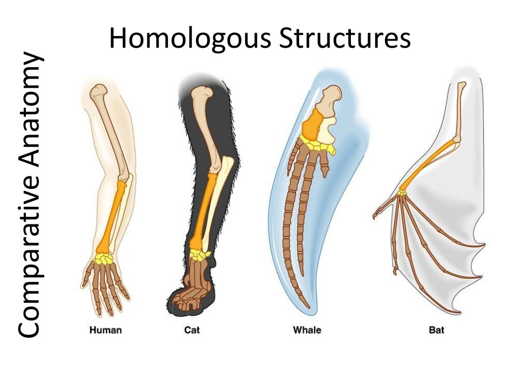 Outstanding Comparative Anatomy Homologous Structures Component ...