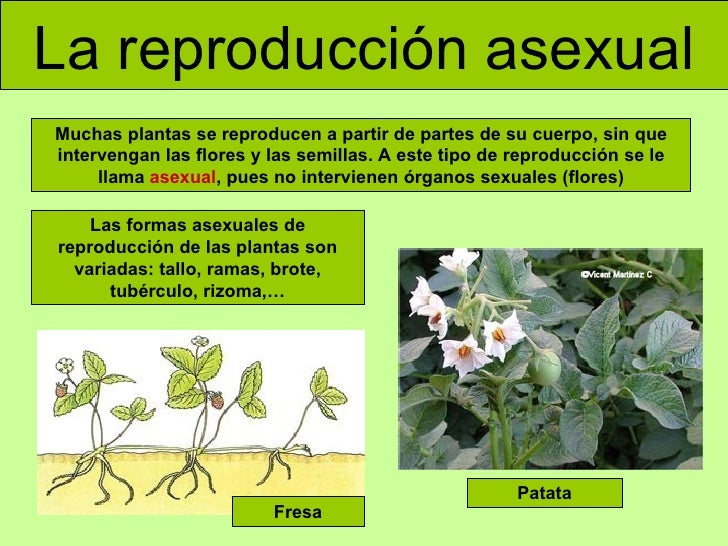 Que tipos de reproduccion asexual en plantas hay