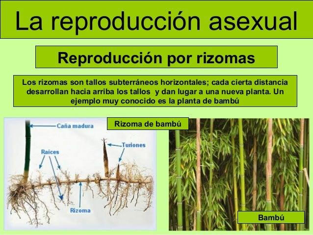Rizomas reproduccion asexual