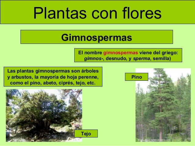 plantas con flores gimnospermas el nombre gimnospermas viene del