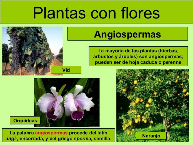 plantas con flores angiospermas la mayoría de las plantas hierbas